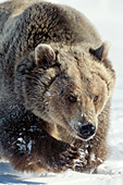 Grizzly walking in deep snow