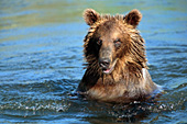 Young grizzly bear swimming in a river