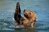 Young grizzly splashing & playing in a river