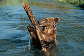 Young grizzly playing with a log in a river