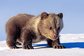 Grizzly cub walking in snow (early spring)