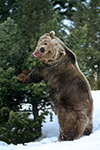 Snarling grizzly pushing and breaking a pine tree