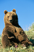 Young grizzly sitting on a hillside