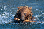 Young grizzly swimming & playing with a stick in its mouth
