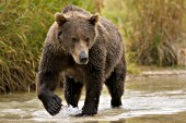 Young brown bear walking in a creek