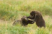 Sparring brown bears