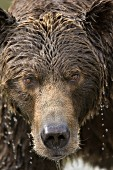 Water dripping off a brown bear's head