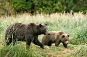 Brown bear mother & cub
