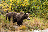 Brown bear standing on a river bank (autumn)