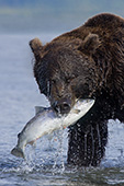 Brown bear with catch (silver salmon)