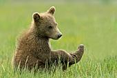 Brown bear cub in tall grass