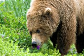 Adolescent brown bear eating beach pea