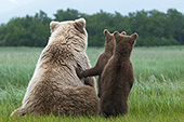 Brown bear & twin cubs watching a male bear