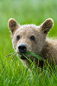 Brown bear cub with a mouth full of grass