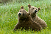 Twin brown bear cubs in tall grass