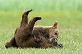 Twin brown bear cubs wrestling