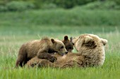 Brown bear nursing her twin cubs