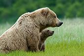 Brown bear mom & cub