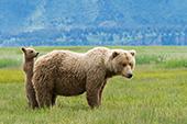 Brown bear cub hiding behind its mom