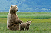 Alaskan brown bear mother & cub
