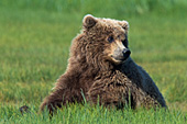 Adolescent brown bear playing in the grass