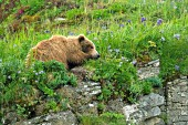 Young brown bear napping on top of a cliff