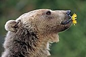 Grizzly bear holding a flower in its mouth