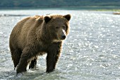 Young brown bear in shallow water