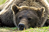 Lazy brown bear