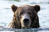 Brown bear fishing in deep water