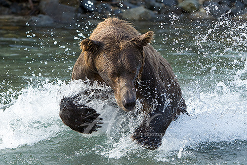 Brown bear fishing for salmon Alaska Peninsula
