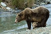 Brown bear cub hiding between its mom's legs