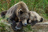 Brown bear & cub sleeping on a creek bank
