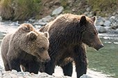 Brown bear mom & cub watching another bear