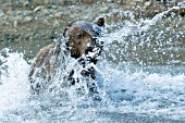 Adolescent brown bear fishing for salmon