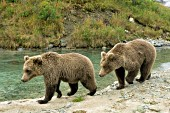 Twin brown bear cubs walking alongside a creek