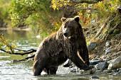 Brown bear in a creek