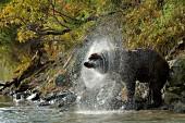 Wet brown bear shaking water off itself