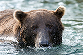 Brown bear blowing bubbles in the water