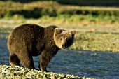 Brown bear cub standing at the edge of a creek