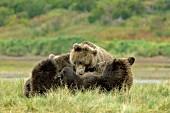 Brown bear nursing her yearling cubs