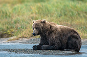 """Zen Bear"" -- Brown bear napping"