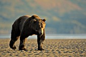 Brown bear walking on a beach at low tide