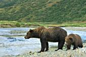 Brown bear & cub at the edge of a creek