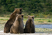 Brown bear & yearling cubs watching for salmon at the edge of a creek