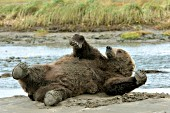 Male brown bear rolling on his back