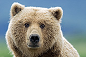 Female brown bear portrait