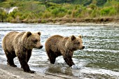 Twin brown bear yearlings walking along a creek