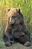 Brown bear cub sitting like a teddy bear
