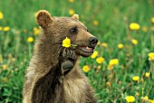 Grizzly cub chewing on a dandelion